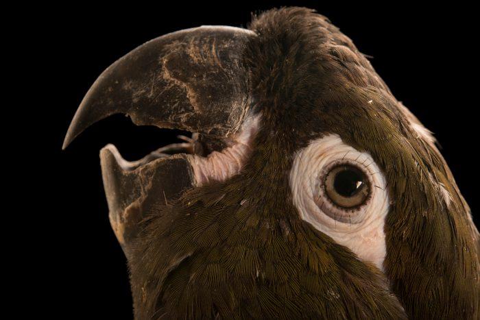 Chilean burrowing parrot (Cyanoliseus patagonus bloxami) at Loro Parque Fundacion.