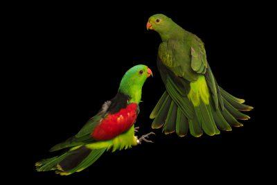 Photo: Red winged parrot (Aprosmictus erythropterus coccineopterus) at Loro Parque Fundacion.