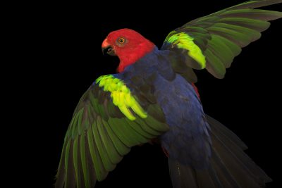 Photo: New Guinea or Papuan king parrot (Alisterus chloropterus moszkowskii) at Loro Parque Fundacion.