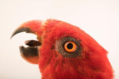 Photo: Moluccan king parrot (Alisterus amboinensis amboinensis) at Loro Parque Fundacion