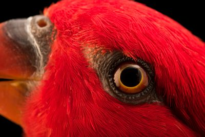 Photo: Chattering lory (Lorius garrulus flavopalliatus) at Loro Parque Fundacion.