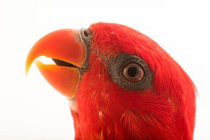 Photo: Red lory (Eos bornea) at Loro Parque Fundacion.