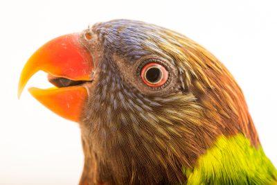 Photo: New Caledonia lorikeet (Trichoglossus haematodus deplanchii) at Loro Parque Fundacion.