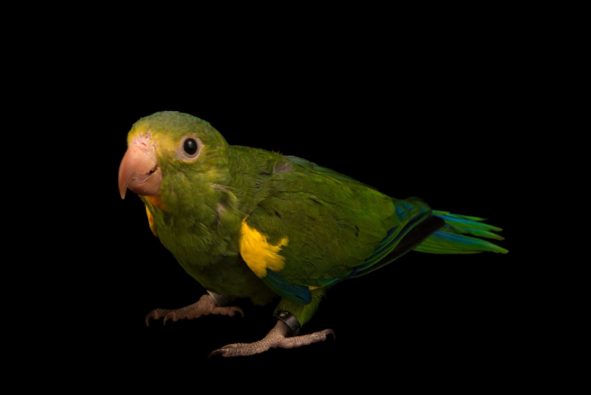 Photo: Cobalt winged parakeet (Brotogeris cyanoptera gustavi) at Loro Parque Fundacion.