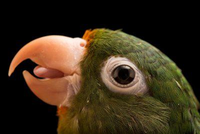 Photo: Golden winged parakeet (Brotogeris chrysoptera tuipara) or Tuipara parakeet at Loro Parque Fundacion.