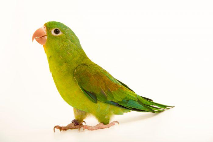 Photo: Orange chinned parakeet (Brotogeris jugularis) at Loro Parque Fundacion.
