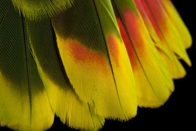 Photo: Tail of a red tailed amazon (Amazona brasiliensis) at Loro Parque Fundacion.