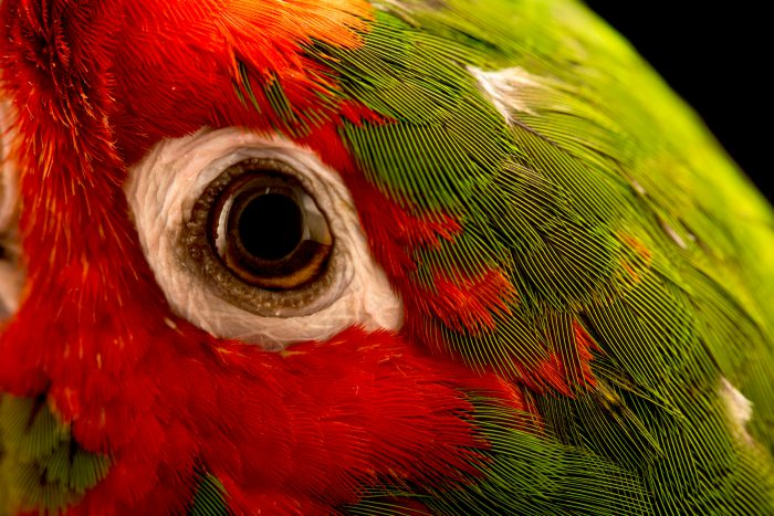 Photo: Mitred parakeet (Psittacara mitratus) at Loro Parque Fundacion.