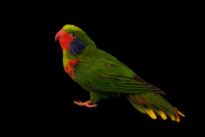Photo: Red flanked lorikeet (Charmosyna placentis placentis) at Loro Parque Fundacion.