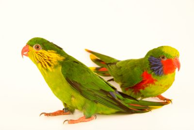 Photo: Male and female red flanked lorikeets (Charmosyna placentis placentis) at Loro Parque Fundacion.