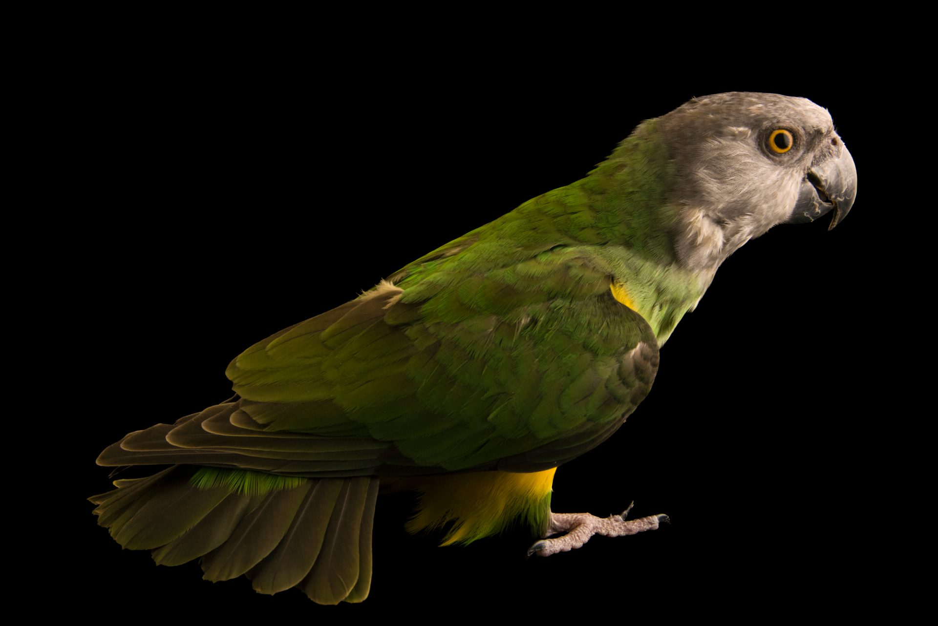 Photo: Senegal parrot (Poicephalus senegalus senegalus) photographed from a private collection in Tenerife.