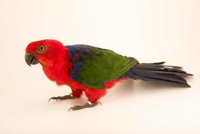 Photo: Moluccan king parrot, Alisterus amboinensis buruensis, at Loro Parque Fundacion.