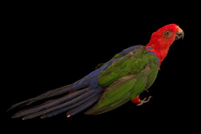 Photo: Moluccan king parrot, Alisterus amboinensis dorsalis, at Loro Parque Fundacion.