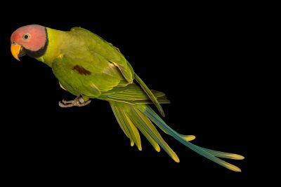 Photo: Blossom headed parakeet, Psittacula roseata juneae, at Loro Parque Fundacion.