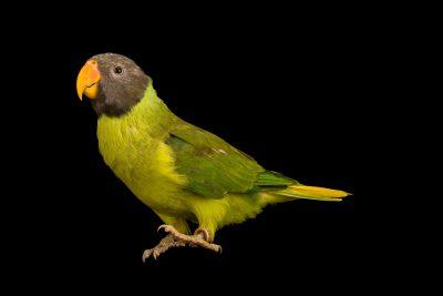 Photo: Slaty headed parakeet, Psittacula himalayana, at Loro Parque Fundacion.