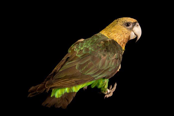 Photo: Cape parrot, Poicephalus robustus, at Loro Parque Fundacion.