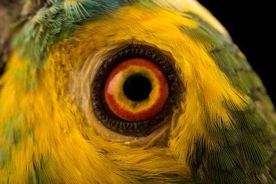 Photo: Turquoise fronted amazon, Amazona aestiva aestiva, at Loro Parque Fundacion.