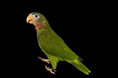 Photo: Yellow billed Amazon, Amazona collaria, at Loro Parque Fundacion.