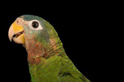 Photo: Yellow billed Amazon, Amazona collaria, at Loro Parque Fundacion.
