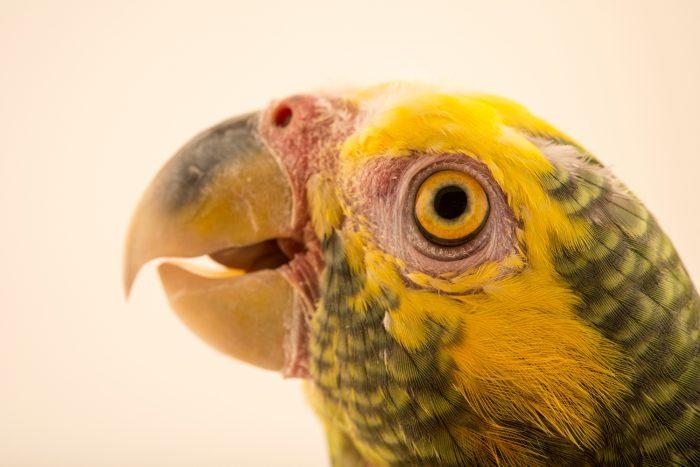 Photo: Yellow faced Amazon, Alipiopsitta xanthops, at Loro Parque Fundacion.