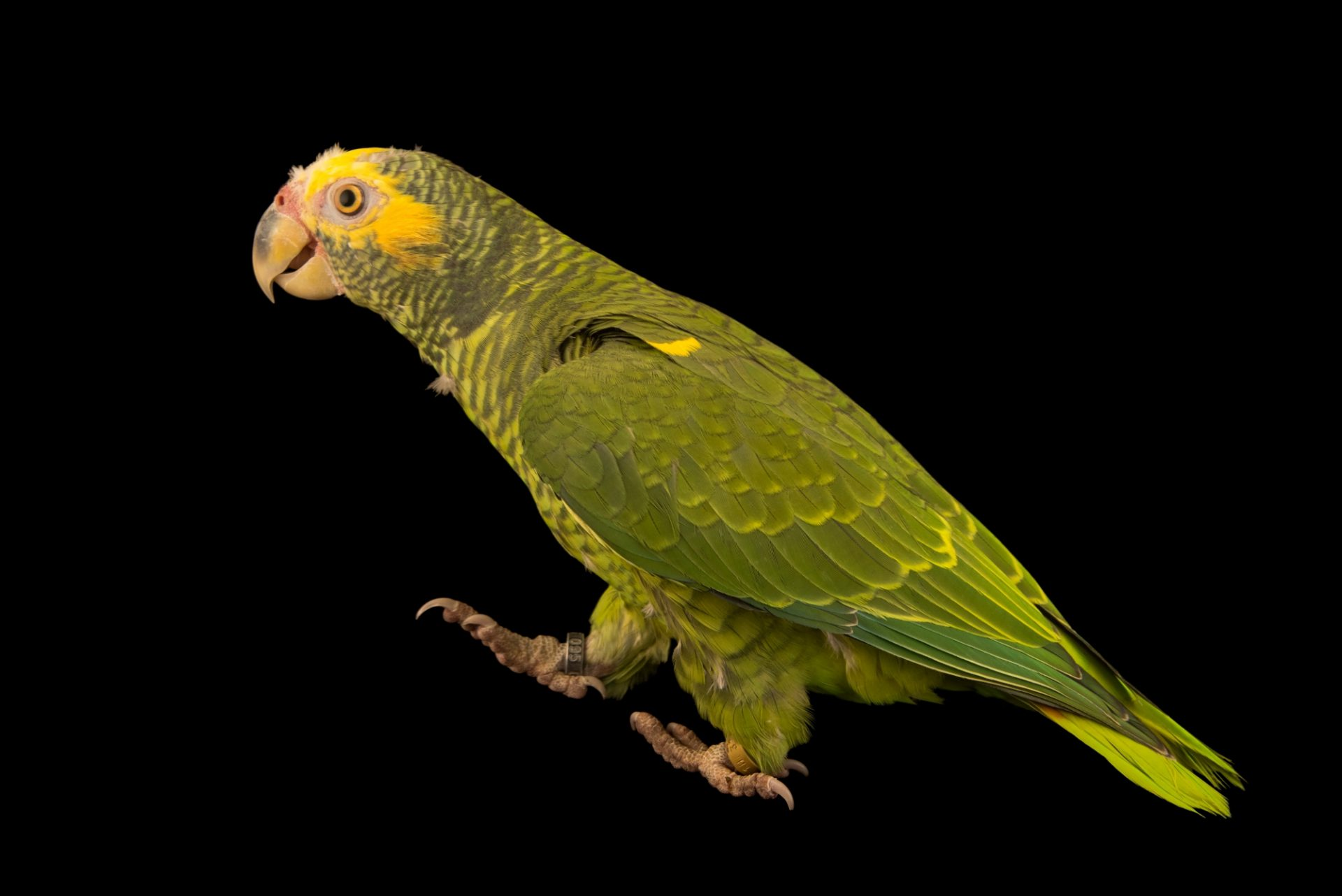 Photo: Yellow faced Amazon, Alipiopsitta xanthops, at Loro Parque Fundacion.