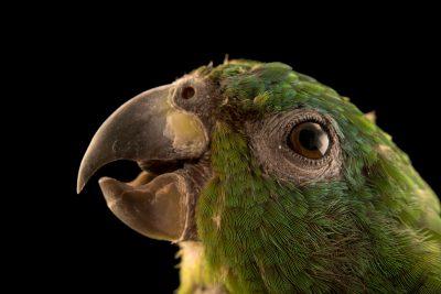 Photo: Black billed Amazon, Amazona agilis, at Loro Parque Fundacion.