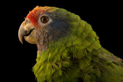 Photo: Red tailed amazon, Amazona brasiliensis, at Loro Parque Fundacion.