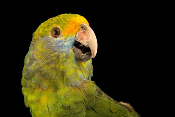 Photo: Blue cheeked amazon, Amazona dufresniana, at Loro Parque Fundacion.