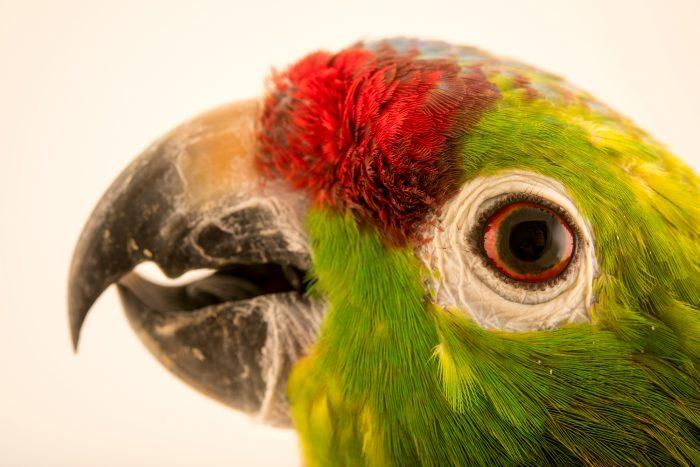 Photo: Diademed amazon, Amazona diadema, at Loro Parque Fundacion.