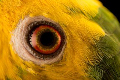 Photo: Marajo amazon, Amazona ochrocephala xantholaema, at Loro Parque Fundacion.