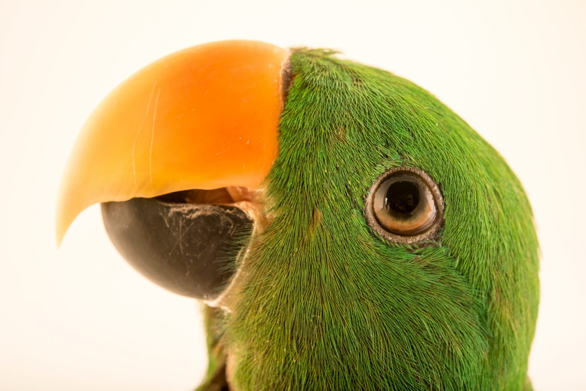 Photo: A male RiedelÕs eclectus parrot, Eclectus roratus riedeli, at Loro Parque Fundacion.