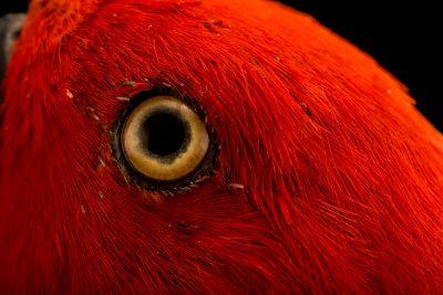 Photo: A female RiedelÕs eclectus parrot, Eclectus roratus riedeli, at Loro Parque Fundacion.