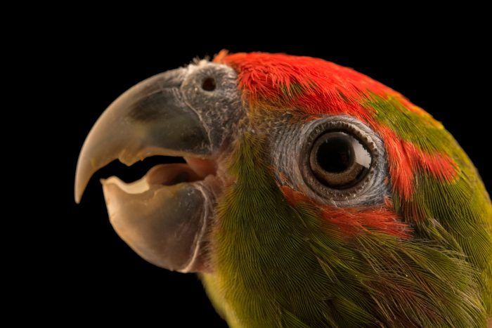 Photo: A male pileated parrot, Pionopsitta pileata, at Loro Parque Fundacion.