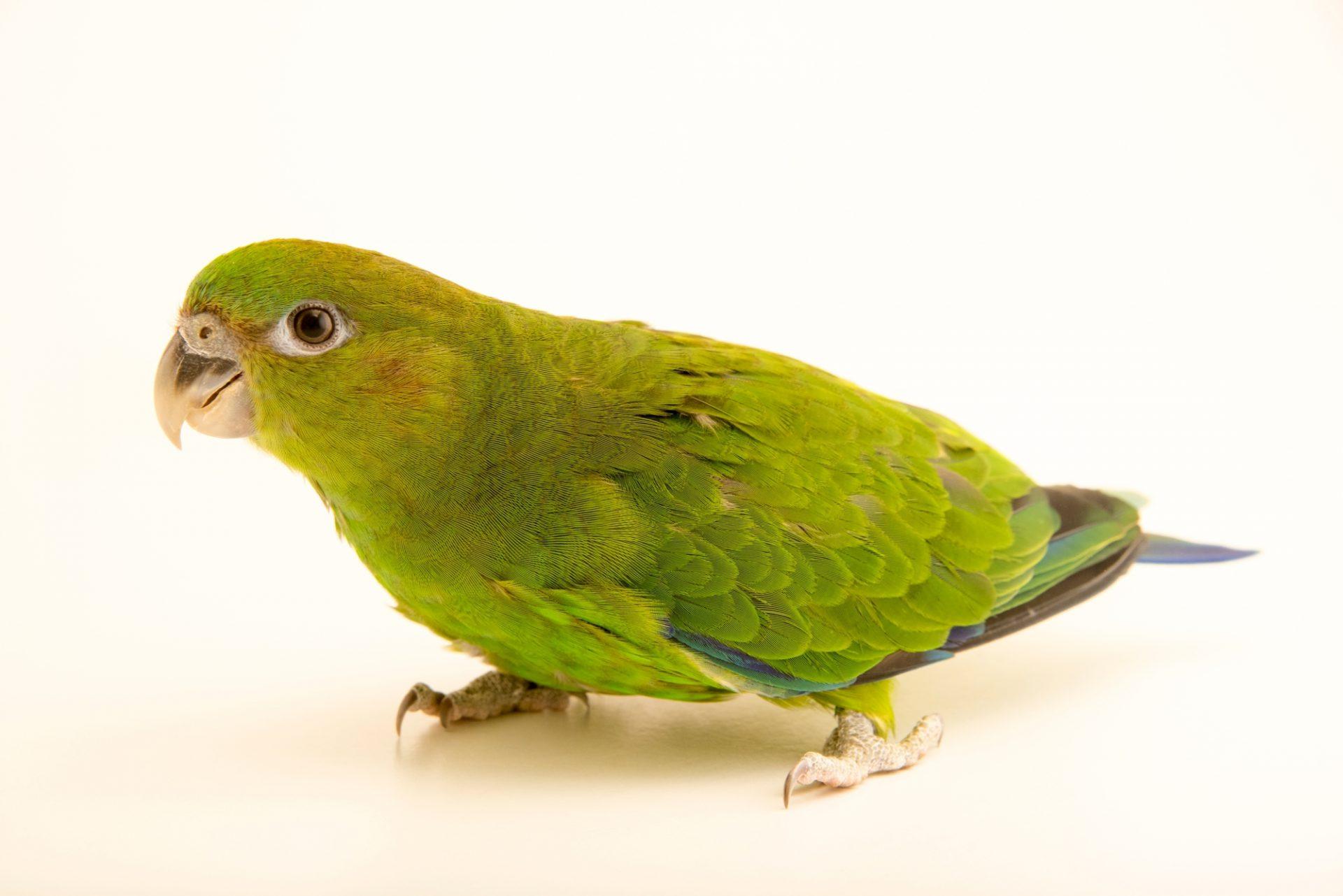 Photo: A female pileated parrot, Pionopsitta pileata, at Loro Parque Fundacion.