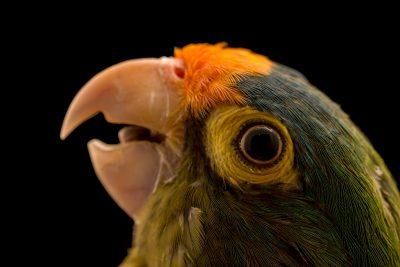 Photo: Orange fronted parakeet, Eupsittula canicularis canicularis, at Loro Parque Fundacion.