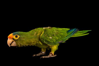 Photo: Orange fronted parakeet, Eupsittula canicularis canicularis, at Loro Parque Fundacion.