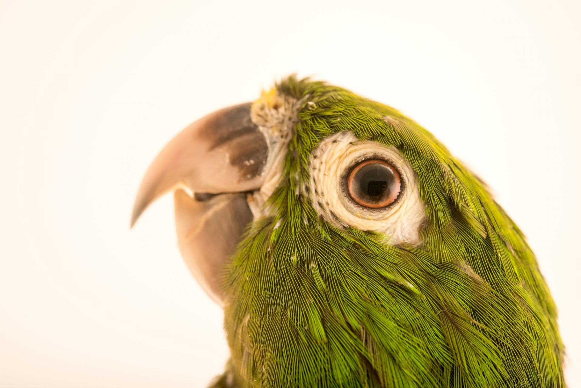 Photo: Aztec parakeet, Eupsittula astec astec, at Loro Parque Fundacion.