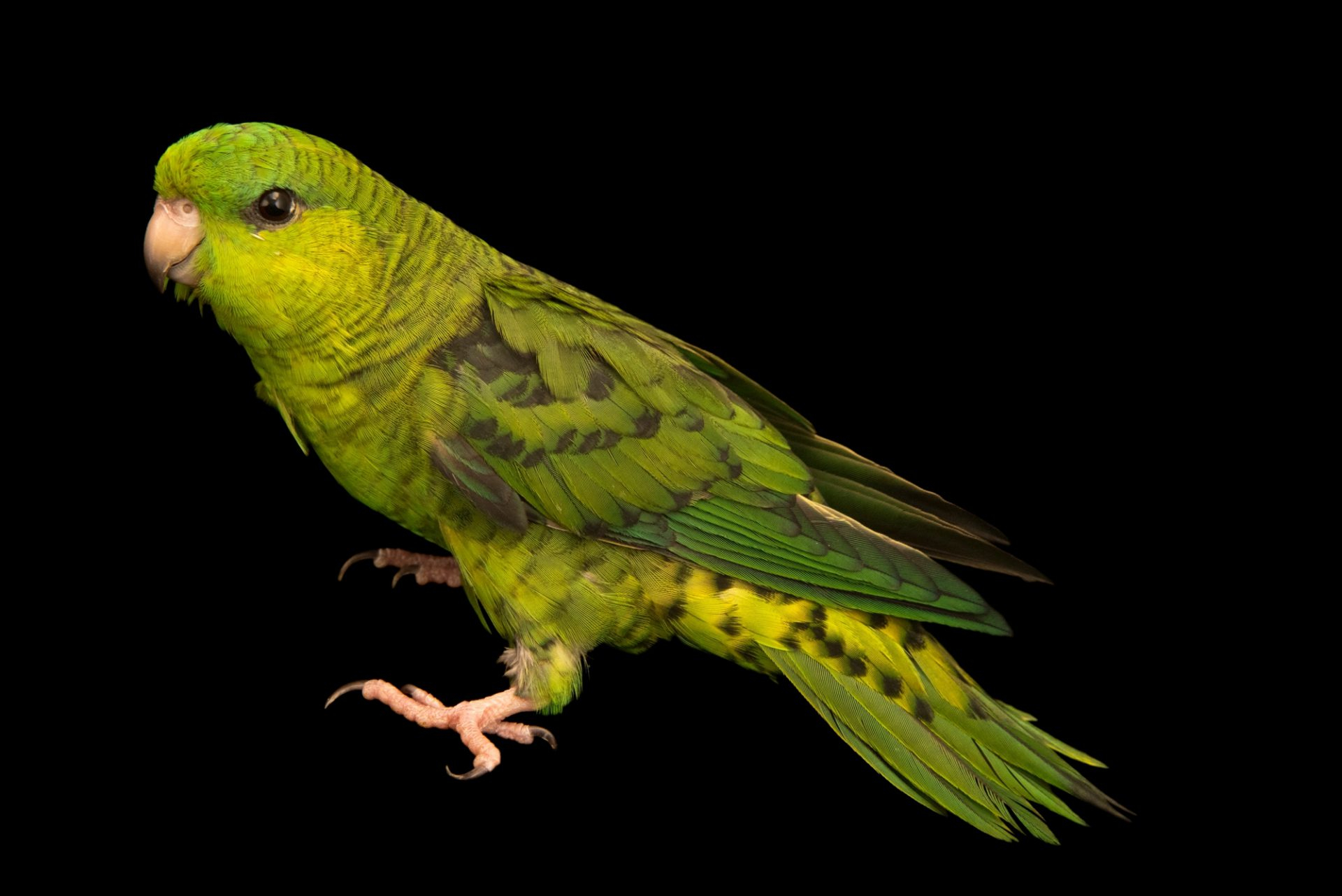 Photo: Barred parakeet, Bolborhynchus lineola, at Loro Parque Fundacion.