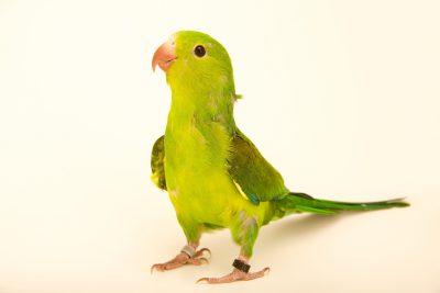 Photo: Plain parakeet, Brotogeris tirica, at Loro Parque Fundacion.