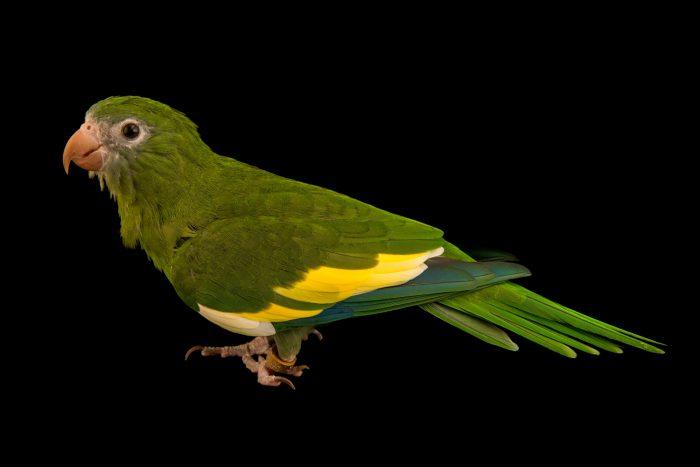 Photo: White winged parakeet, brotogeris versicolurus, at Loro Parque Fundacion.