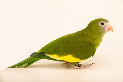 Photo: White winged parakeet, brotogeris versicolurus, at Loro Parque Fundacion.