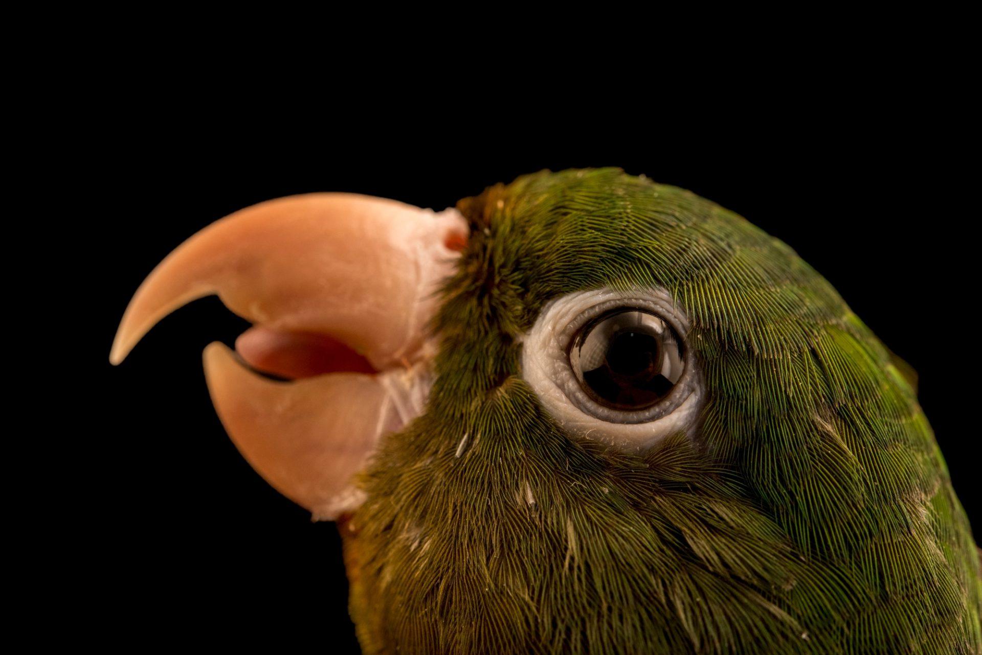 Photo: Golden winged parakeet, Brotogeris chrysoptera chrysoptera, at Loro Parque Fundacion.