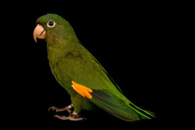 Photo: Golden winged parakeet, Brotogeris chrysoptera chrysoptera, at Loro Parque Fundacion.