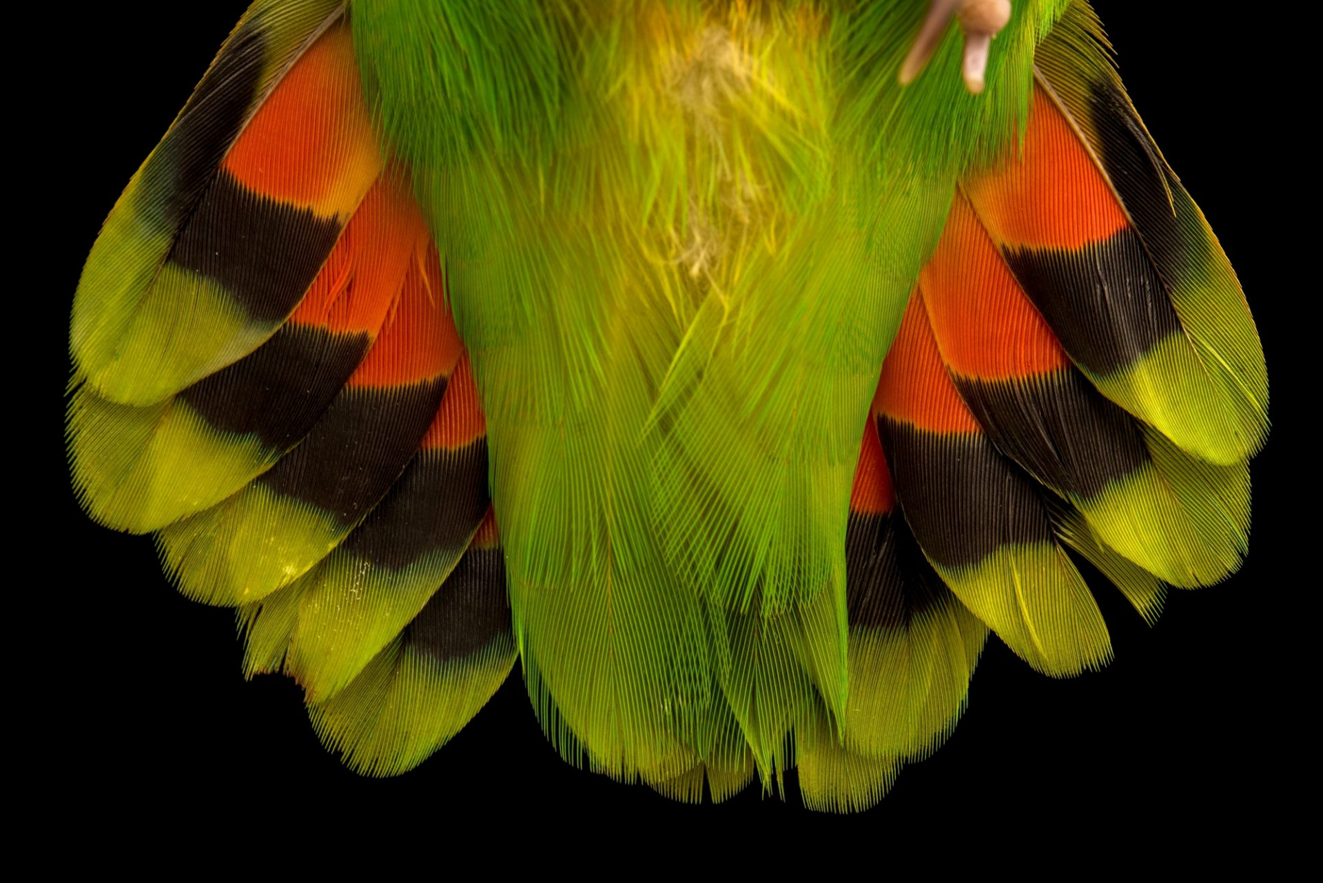 Photo: The tail feathers of a red headed lovebird, Agapornis pullarius, at Loro Parque Fundacion.