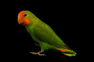 Photo: A red headed lovebird, Agapornis pullarius, at Loro Parque Fundacion.