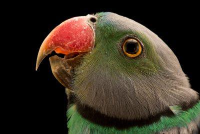 Photo: A Malabar parakeet, Psittacula columboides, at Loro Parque Fundacion.