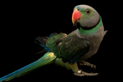 Photo: A Malabar parakeet, Psittacula columboides, at Loro Parque Fundacion.