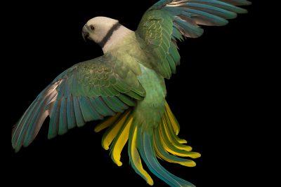 Photo: A female Malabar parakeet, Psittacula columboides, at Loro Parque Fundacion.