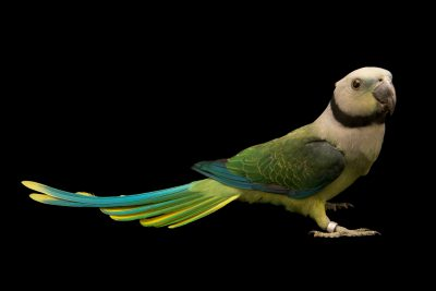 Photo: A female animal Malabar parakeet, Psittacula columboides, at Loro Parque Fundacion.
