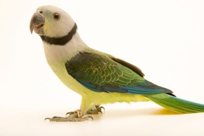 Photo: A female Malabar parakeet, Psittacula columboides, at Loro Parque Fundacion.